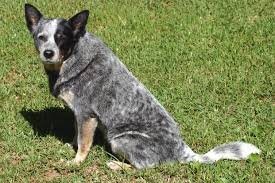 8 spotted dog breeds pawculture