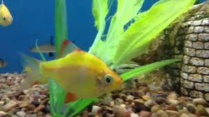 petsmart animals fish. Wonderful Petsmart And Petsmart Animals Fish Y