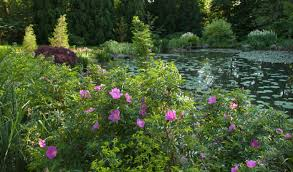 rugosa rose japanese rose ramanas rose wild roses shrub roses