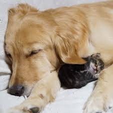 golden retriever puppy and kitten. Modren Puppy Kittenrescuedgoldenretrieverichimiponzujessiepon9 And Golden Retriever Puppy Kitten U