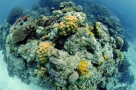 is the great barrier reef really already dead on point a coral reef pinnacle at the great barrier reef in kike calvo
