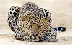 Leopard Wallpaper For Bedrooms 661 Leopard Hd Wallpapers Backgrounds Wallpaper Abyss
