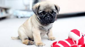 pug puppies. Beautiful Puppies On Pug Puppies