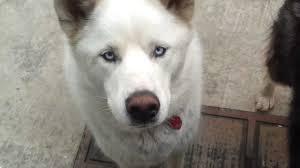 white husky wolf mix. Contemporary Wolf On White Husky Wolf Mix
