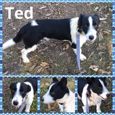 jack russell terrier border collie mix. Interesting Terrier Photo Of Ted And Jack Russell Terrier Border Collie Mix L
