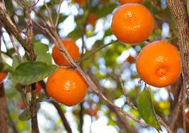 Calamondin  WikipediaSmall Orange Fruit On Tree