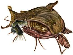 flathead catfish wallpaper. Interesting Catfish Images Of Flathead Catfish Drawing For Wallpaper P