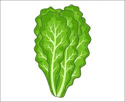 lettuce clipart. Brilliant Lettuce Lettuce Plant Clipart On I