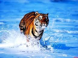 Tiger, Wildlife, Bengal Tiger ...