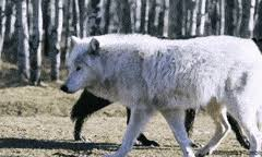 black wolf and white wolf love. Plain White Black And White Love Wolf Favim Com AndloveFavimblackWolf On Black Wolf And White Love E