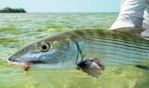 Bonefish And Tides Bonefish Tarpon Trust