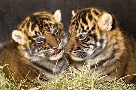 images of tigers. Beautiful Tigers Cubs Seem To Know From The Start That They Are Tigers And Practice Their  Hunting Skills With Each Other In What Could Be Considered A Form Of Extreme Tag  Intended Images Of Tigers G
