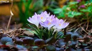 نتیجه تصویری برای تصاویری از گلها