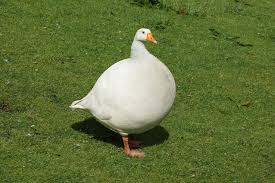 Image result for fat goose pictures