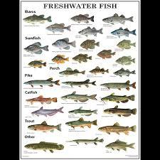 Freshwater Fish Chart Gmcos Freshwater Fish Poster Laminated