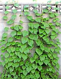 All You Need To Know About Vertical Gardening  Jersey Plants Wall Climbing Plants Names