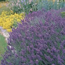 deer repellent for gardens. Lavender: Repels Fleas, Ticks, Deer, Moths, Mice, Black Fly And Deer Repellent For Gardens