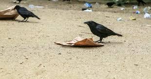 Crow Vending Machine Plans Adorable Puy Du Fou Theme Park Is Training Birds To Collect Its Litter