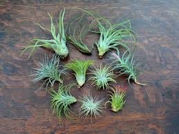 Air Plants | Tillandsia Terrariums & Gifts | Air Plant Design Studio