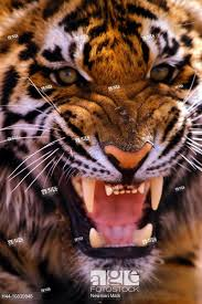 tiger face growling. Beautiful Face Stock Photo  Tiger Growling Portrait Face Teeth Aggressive For Tiger Face Growling L