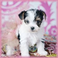 white teacup yorkie puppies for sale. Simple Puppies White Teacup Yorkie Puppy  Zoe Fans Blog In White Teacup Yorkie Puppies For Sale I
