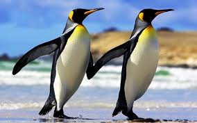 real emperor penguin. Wonderful Real For Real Emperor Penguin R