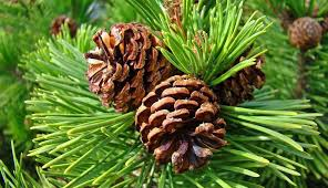 Image result for pine cones