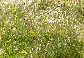 wild grass texture. Entle Bay Wild Grass Texture O