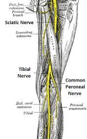 Sensory Nerves Of The Foot Google Search Nerve Anatomy