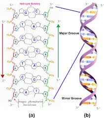 Nucleic Acids Functions Of Nucleic Acids Examples Of Nucleic