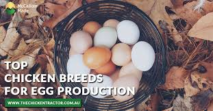 Top Chicken Breeds For Egg Production Chicken Coops And