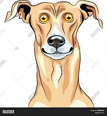 Vector Greyhound Dog Vector & Photo ...