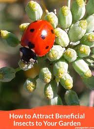 are you into organic gardening did you know insects can actually help this is all about how to attract beneficial insects to your garden