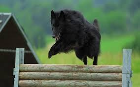 black belgian shepherd groenendael picture