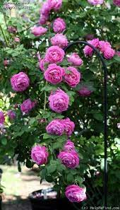 Ahmad😉 | Rose seeds, Beautiful roses, Flower garden