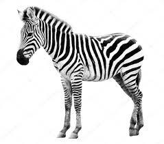 Картинки по запросу зебра