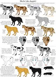 Labradoodle Color Chart The Merle Coat Color Explained Aussiedoodle And Labradoodle