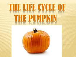 Ppt The Life Cycle Of The Pumpkin Powerpoint Presentation Id 2585989