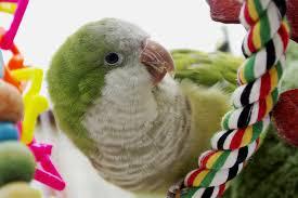 What Makes Quaker Parrots Such Great Pet Birds