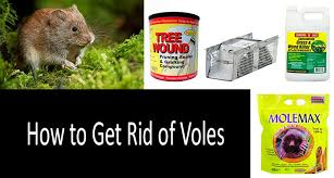 how to get rid of voles in garden. Brilliant Rid How To Get Rid Of Voles Photo To Get Rid Of Voles In Garden