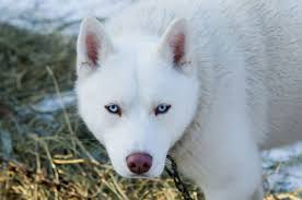 a white siberian husky with blue eyes walking in the winter