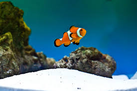 Clown Fish Identification Chart Clown Fish Facts Types Of Clown Fish Breeding Clownfish