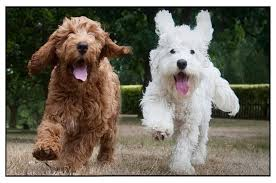apoo a poodle and a er spaniel crossbreed
