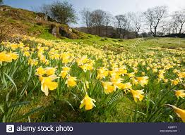 wild daffodil s narcissus pseudonarcissus growing near loughrigg stock photo wild daffodil s narcissus pseudonarcissus growing near loughrigg tarn ambleside lake district uk