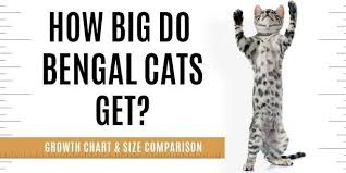 Kitten Size Chart How Big Will A Full Grown Bengal Cat Be Bengalcats Co