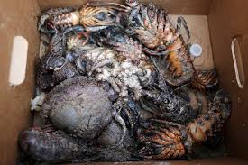 photos capturing the slick from california s oil spill newshour a clean up worker holds a box of sea creatures killed by an oil slick along