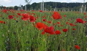 a field of red poppies in peace park polygon wood