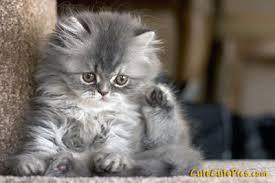 cute fluffy gray kittens. Modren Cute Fluffy Gray Kitten  For Cute Gray Kittens