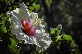 average american flower size 14 tropical flowers you can grow almost anywhere