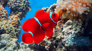 different colored clown fish. Contemporary Clown Image Photo Types Of Tropical Fish  Saltwater Clownfish Color Intended Different Colored Clown T